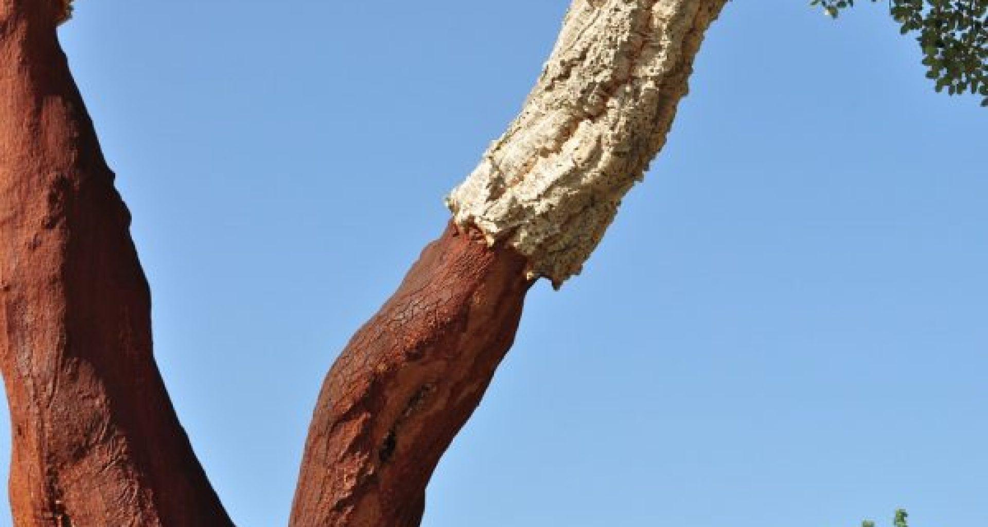 cork-oak-505260_960_720