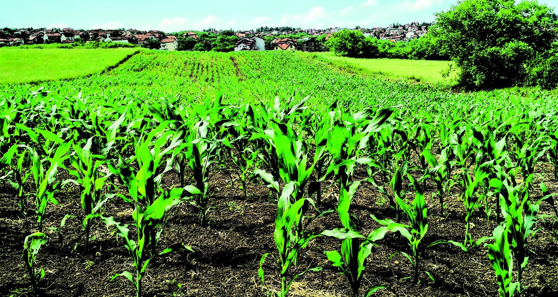 corn-plant-on-field-1112080