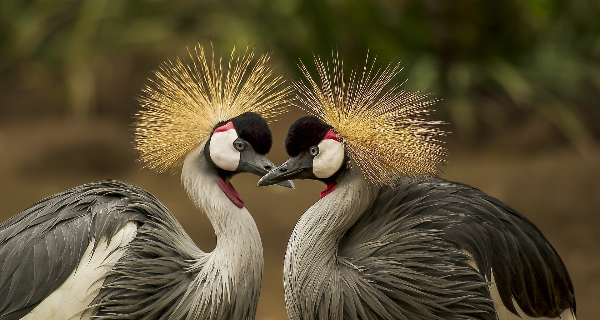 grey-crowned-cranes-540657_1920